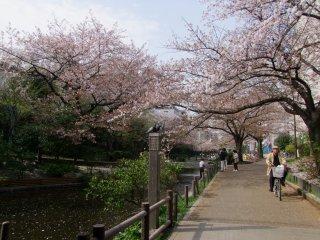 Цветы сакуры, нависающие над рекой Оёкогава