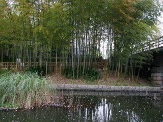 Os bambus infiltram-se no lugar das sakura