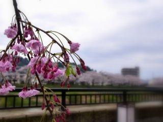 "Cerejeira cor-de-rosa do tipo ""shidare-zakura"", ao sabor do vento"