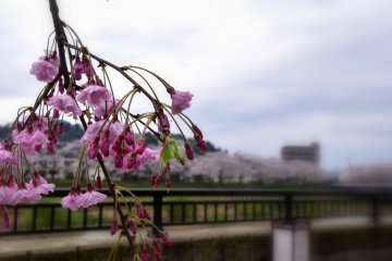 <p>Pink weeping cherry branch fluttering in the wind</p>
