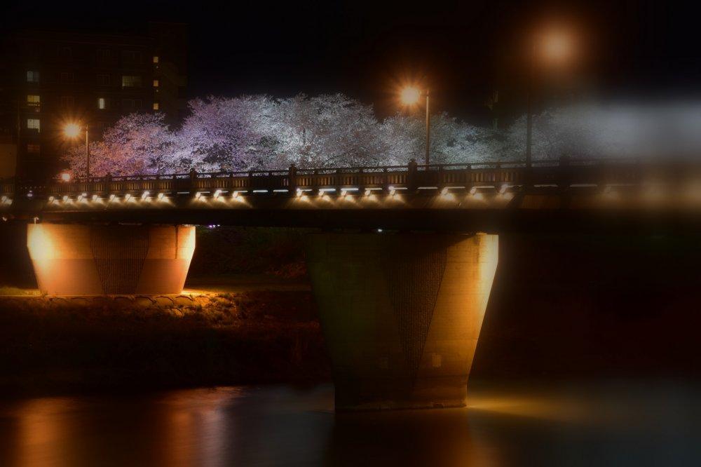 """Iluminação fantástica da """"Ponte Sakura"""" durante a noite"""