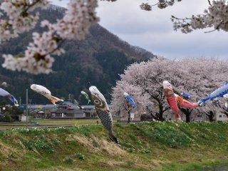 후쿠이 시골의 목가적 환경에서 봄바람이 헤엄친다
