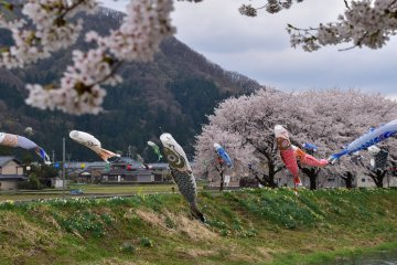 <p>&#39;Swimming&#39; in the spring wind in the idyllic setting of rural Fukui</p>