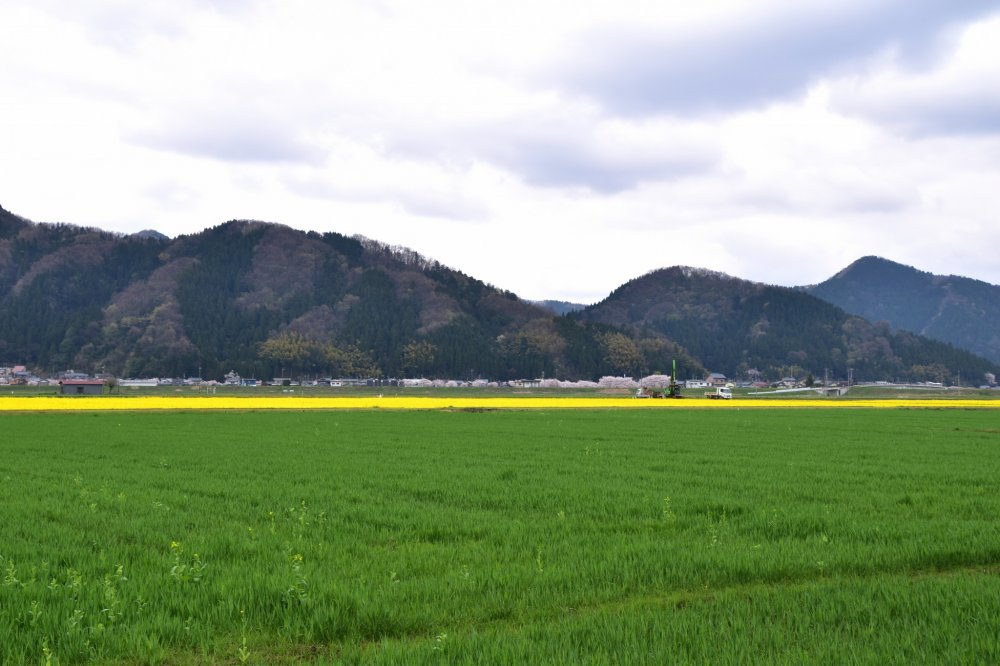 車で自宅に帰る途中、広大な田園の緑の中に黄色い一面を見つけた。何だろうと不思議に思い、行ってみることにした。