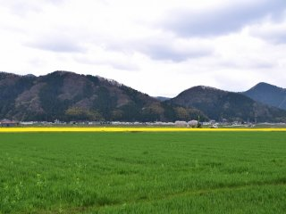 Quando conduzia para casa, uma cor amarela brilhante no meio dos campos verdes despertou-me a atenção. Surpresa e curiosa, decidi investigar.