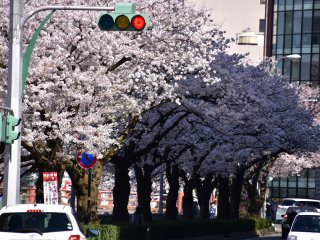 A line of cherry trees iin full bloom at the entrance of Fukui Castle Ruins