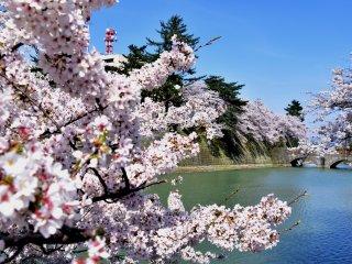 福井城址のお濠を彩る可愛いピンクの桜