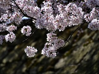 Cascading over the stone wall, cherry blossoms radiant under the sunshine