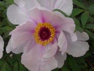 В саду есть по крайней мере 4 дюжини разных видов пионов