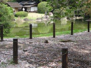 Pohon sakura tersebar di jalan yang mengelilingi kolam