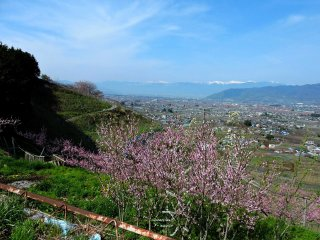 Peach trees in the foreground and grape vines on the hillside, with Koshu City below and the mountains behind