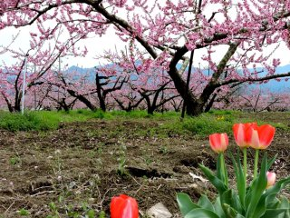 Red tulips bordered this peach orchard