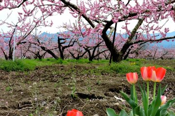 April, Persik mekar di Yamanashi