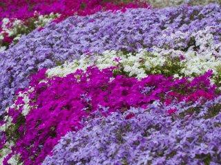 พุ่มดอก Shibazakura ที่มีสีสดใส สีม่วง สีชมพู สีฟ้า และสีขาว ประกาศว่าฤดูใบไม้ผลิมาถึงแล้ว