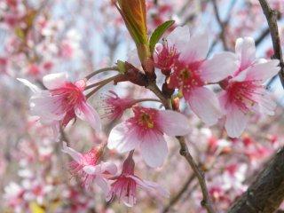 Terdapat beberapa varietas bunga sakura yang berbeda di bukit-bukit ini