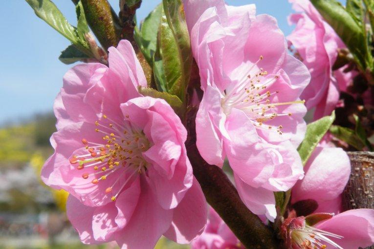 جبل الأزهار في فوكوشيما