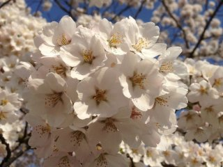 Somei Yoshino. It is said that these were first cultivated during the Edo period in Tokyo