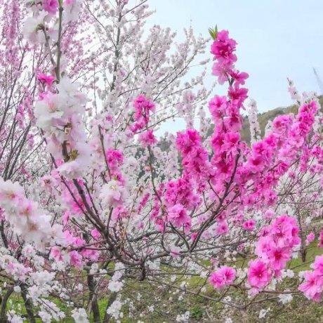 JR 카도하라 역 근처에 핀 복숭아꽃