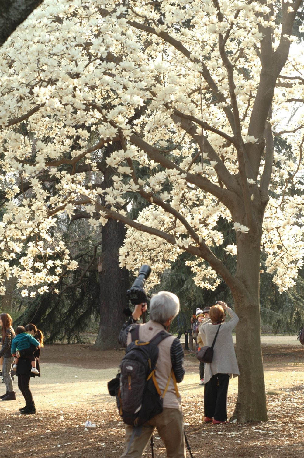 Những bông hoa lớn nở trên cây mộc lan này được cho là có từ thời Edo