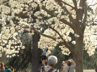 The large flowers that blossom on this magnolia tree are said to date back to the Edo era.