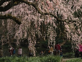 The park boasts about 65 varieties of cherry blossoms and nearly 1,100 cherry trees.