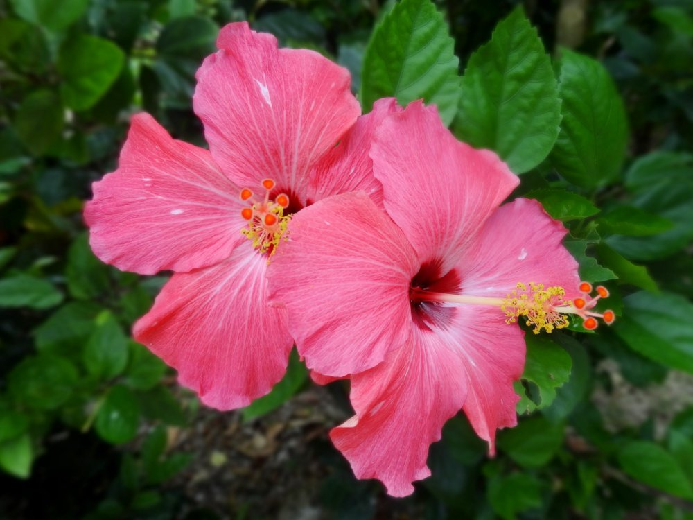 Pink hibiscus flowers on Taketomi island