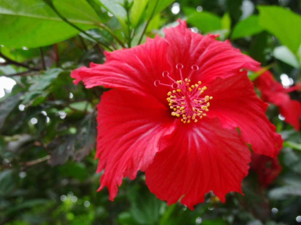 The hibiscus flowers also come in other hues, such as this deep red