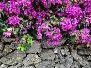 Bougainvillea is a popular site, growing all over the island's stone walls