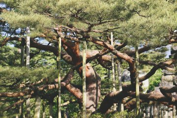 <p>For esthetic purposes, some pines are held up like so.</p>