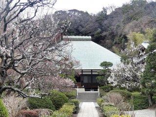 อาคารหลักของวัดโจะเมียวจิกับสวนพลัม