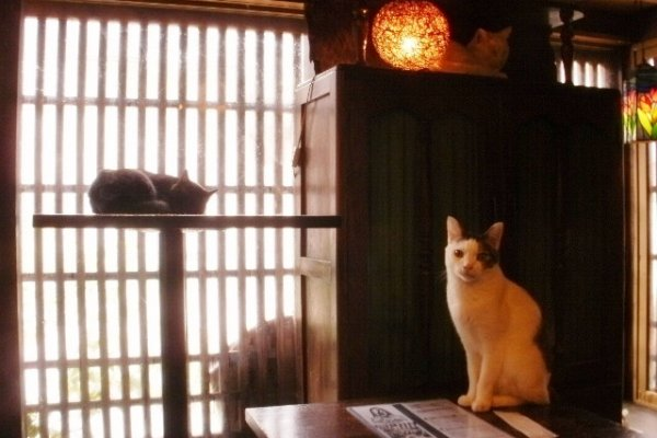 Cats in the Edo-style cafe Neko An