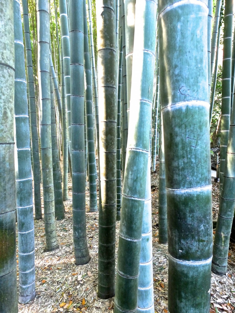 Hutan bambu di Kuil Hokokuji, Kamakura