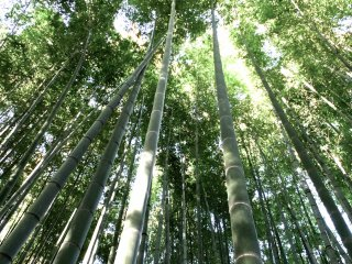 Pepohonan bambu yang hijau segar di Kuil Hokokuji, Kamakura