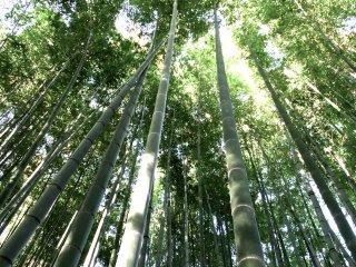 Fresh green bamboo atHokokuji Temple, Kamakura