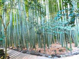 Stepping back at taking a look at the bamboo groveat Hokokuji Temple, Kamakura