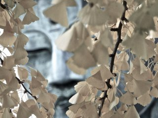 Muted tints of Daibutsu hiding behind these autumn leaves