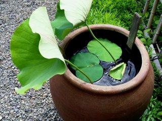 Листья лотоса колышутся на ветру