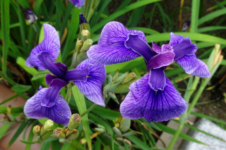 ดอกไอริสเรืองชื่อของทะมะนะ (Tamana) จะบานในช่วงปลายเดือนพฤษภาคมถึงต้นเดือนมิถุนายน ในแม่น้ำทะคะเซะอุระ (Takaseura)