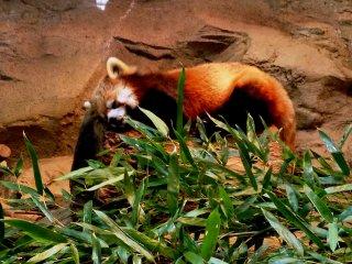 Красная панда, она же огненная лиса