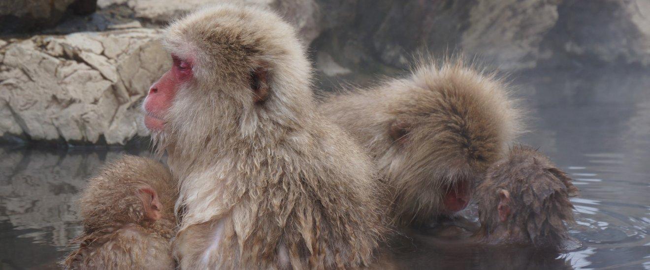 Jigokudani Yaenkoenชมลิงก้นแดงแช่ออนเซ็น