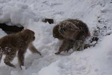 <p>snow fight! ภาพขำๆของการเล่นกันแบบลิงๆของลิงรุ่นเล็ก</p>