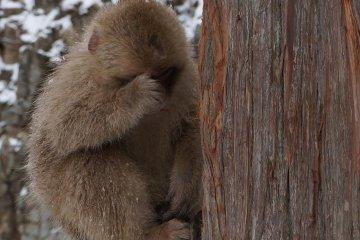 <p>ลิงเขาหลับกันบนต้นไม้เหรอ ไม่ตกเหรอเนี่ย</p>