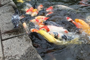 <p>A fusion of color battle for fish food thrown in by two girls</p>
