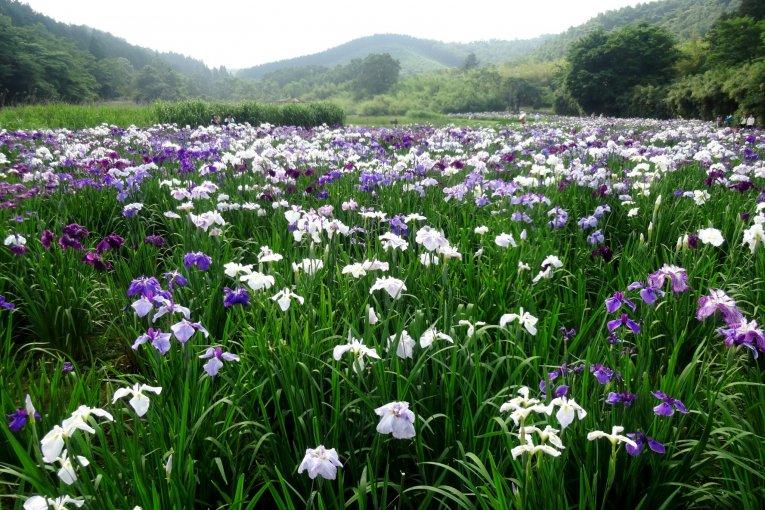 Hoa diên vĩ ở hồ Kagurame
