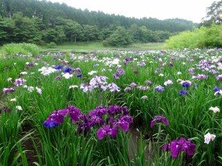 Bunga-bunga iris mekar dalam beragam gradasi ungu