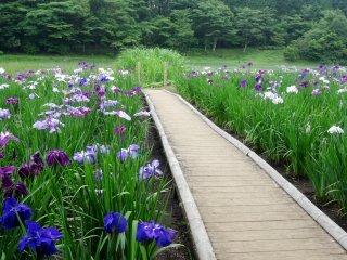 Sebuah jembatan papan kecil yang akan menuntunmu berjalan di antara bunga-bunga