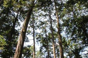 Une grande partie de la forêt est composée de cèdres dont l'odeur vient embaumer l'air
