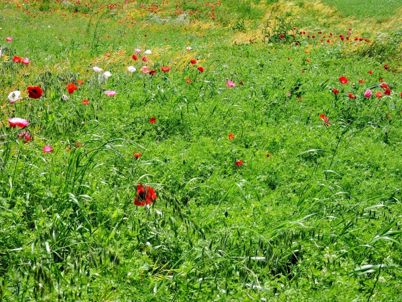 <p>Poppies in a green field</p>