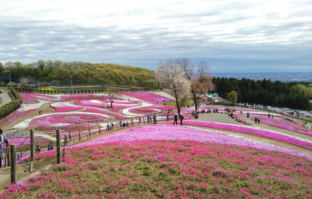 Dari bagian tertinggi di Taman Misato Shiba-zakura. Anda dapat menemukan seni bunga paling menakjubkan yang berwarna-warni dan terkesan mistis.