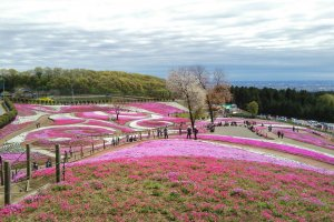 From the highest part of the Misato Shiba-zakura Park. You can find the most amazing view of the colourful, yet mystical flower art.